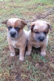 Red heeler puppies