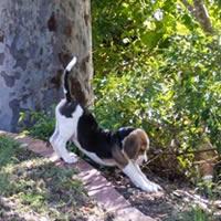 Watson, Beagle puppy
