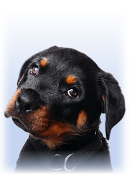 Puppy (Zed the Rotty)