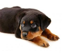 zed puppyo_s