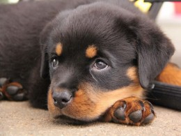 Rottweiler puppy Zoe (photo from Urs Christen)