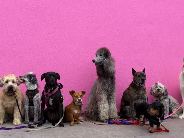 Dog breeds sitting up behind a wall