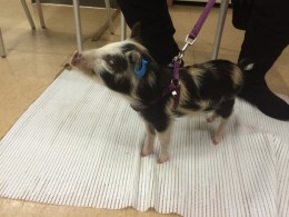 George the piglet