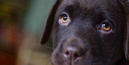 Dark haired puppy looking sad with puppy eyes