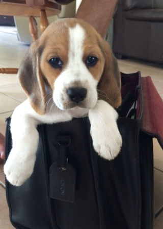 beagle in bag_s