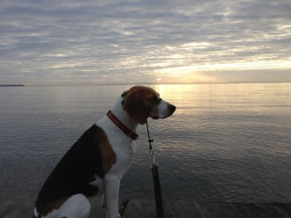 thoughtful Beagle_s